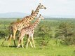 Giraffes on the Masai Mara.