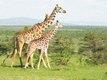 Giraffes on the Masai Mara.