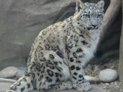 Snow leopards_slider