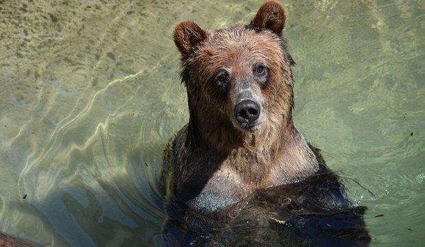 Akron Zoo bear