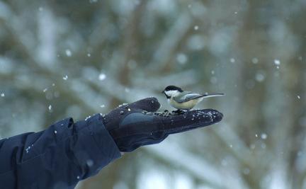 Feeding Chickadees (Volunteer Kimberley Ardelian).jpg