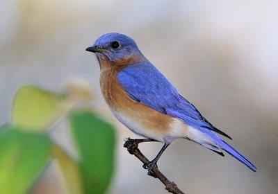 eastern_bluebird_11.jpg