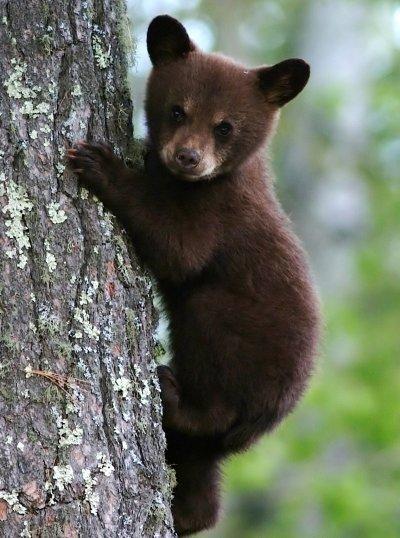 Black Bears in Ohio