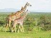 Giraffes on the Masai Mara.JPG