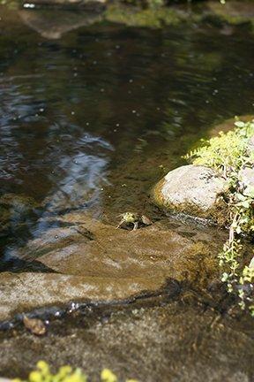 frog in pond WEB.jpg