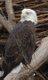 bald eagle (1).jpg