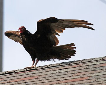 L 060615 TURKEY VULTURE (J copy.jpg