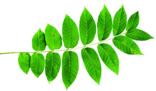 black walnut tree leaf.jpg
