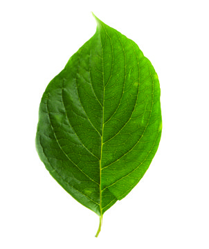 flowering dogwood leaf.jpg