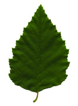 river birch leaf.jpg