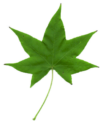sweetgum leaf.jpg