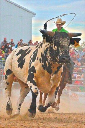 Cowboy roping bull.jpg
