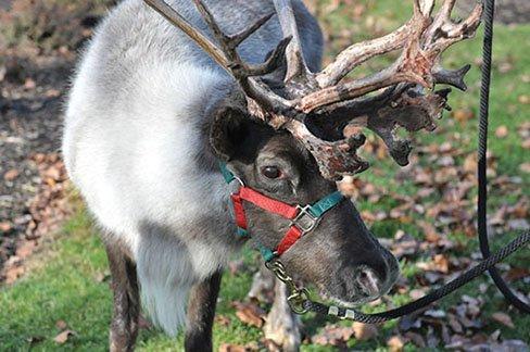 Christmas in Zoar - Reindeer.JPG