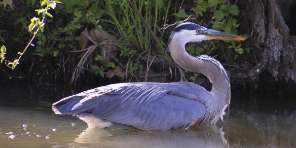 5-6 Blue Heron Homecoming (Photo Credit to Summit Metro Parks volunteer John Reeves)1.jpg