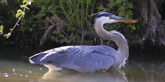 5-6 Blue Heron Homecoming (Photo Credit to Summit Metro Parks volunteer John Reeves)1.jpg
