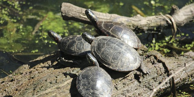 5-21 World Turtle Day (Photo Credit to Summit Metro Parks volunteer Jeff Hill)3.jpg