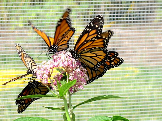 9-30 Migrating Monarchs Butterfly Tag & Release Event.jpg