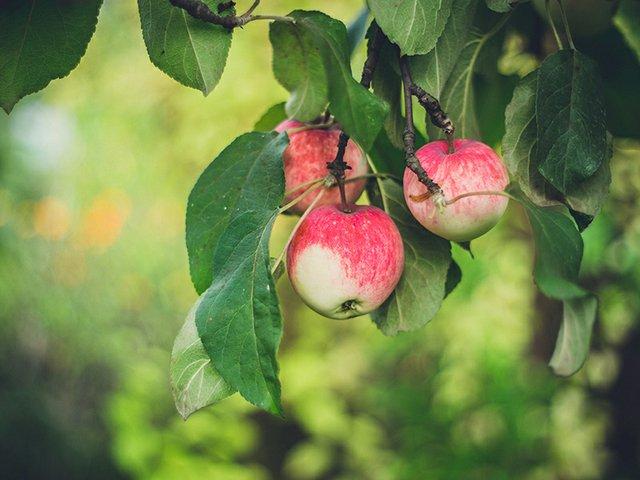 apples by marina-khrapova.jpg