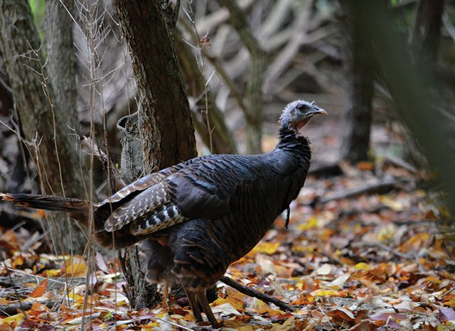 11-20 Turkey Tales (Photo Credit to Hite).JPG
